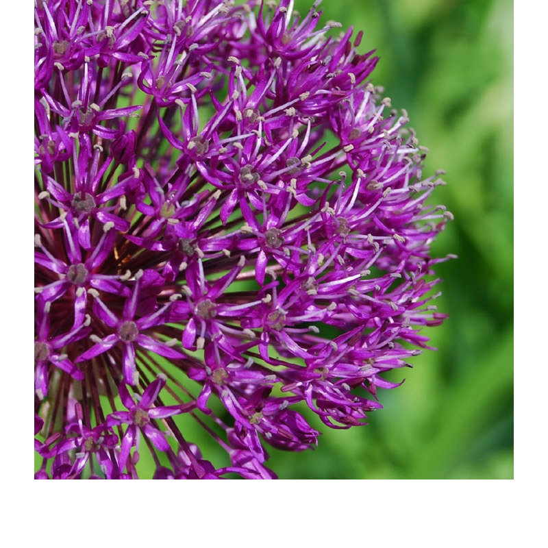 allium garden art